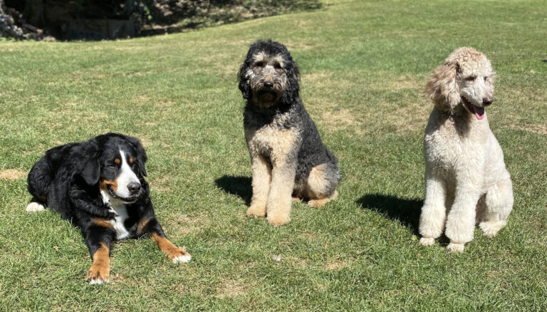 Three bernedoodles from Oodles of Doodles Puppies in Pennsylvania.